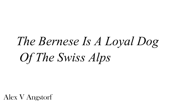 The Bernese Is A Loyal Dog Of The Swiss Alps (Alex V Angstorf)