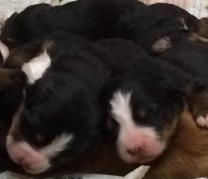 puppies-gacha